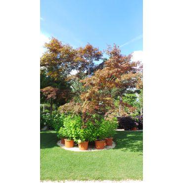 Acer palmatum Blodgood 500/600 cm 19 ans