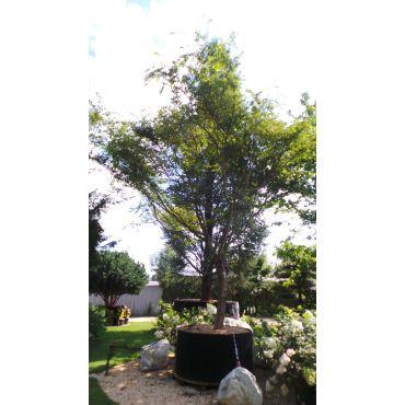 Acer palmatum ( Erable japonnais) 600/700 cm 24 ans