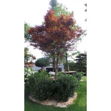 Acer palmatum Fireglow 400/500 cm 22 Jährig
