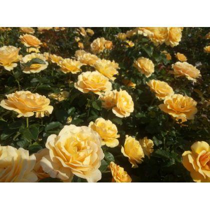 Rosier polyantha et floribunda Amber Queen (R)