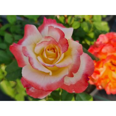 Rosier à grandes fleurs Aquarell