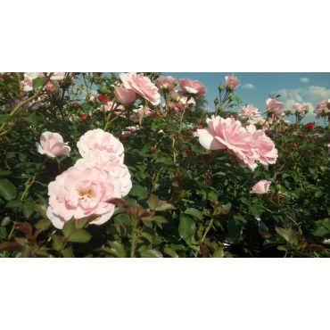 Rosier polyantha et floribunda Bonica 82 (R)