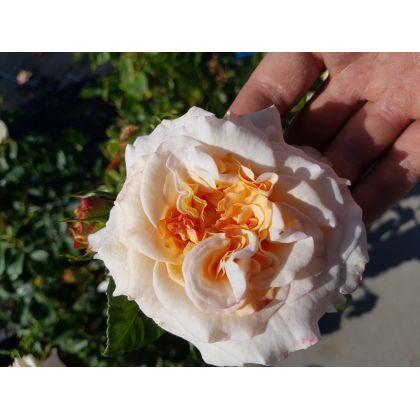 Rosier à grandes fleurs Comtessa (R)