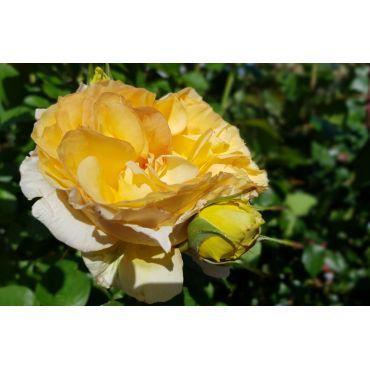 Rosier polyantha et floribunda Goldelse (R)