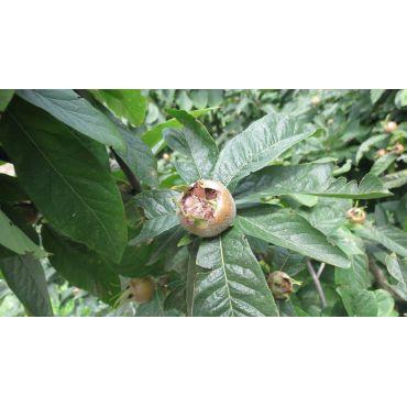 Mespilus germanica (néflier, cul de chien) *