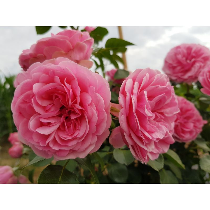 Rosier polyantha et floribunda Leonardo da Vinci (R)