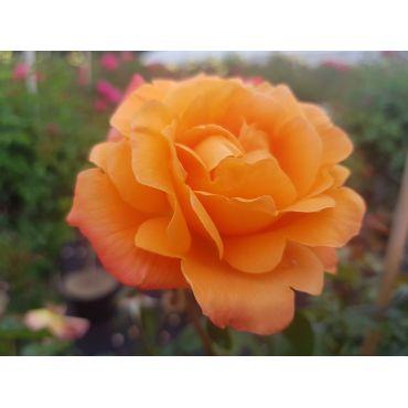 Rosier polyantha et floribunda New Year  (R)
