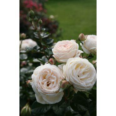 Rosier arbuste Artemis (R)