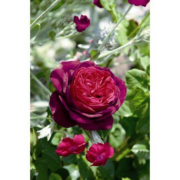 Rosier arbuste Astrid Grafin von Hardenberg (R)