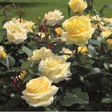 Rosier à grandes fleurs Avec Amour