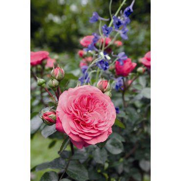 Rosier à grandes fleurs Baronesse