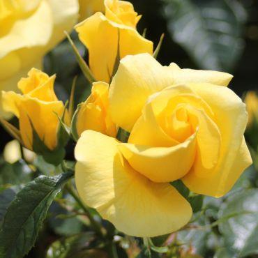 Rosier polyantha et floribunda Bayerngold (R)