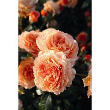 Rosier arbuste Belvedere (R)