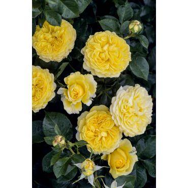 Rosier polyantha et floribunda Inka (R)