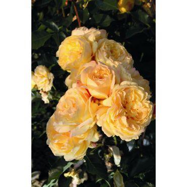 Rosier polyantha et floribunda Lampion (R)