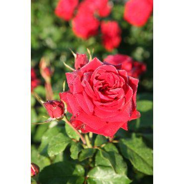 Rosier polyantha et floribunda Lübecker Rotspon (R)