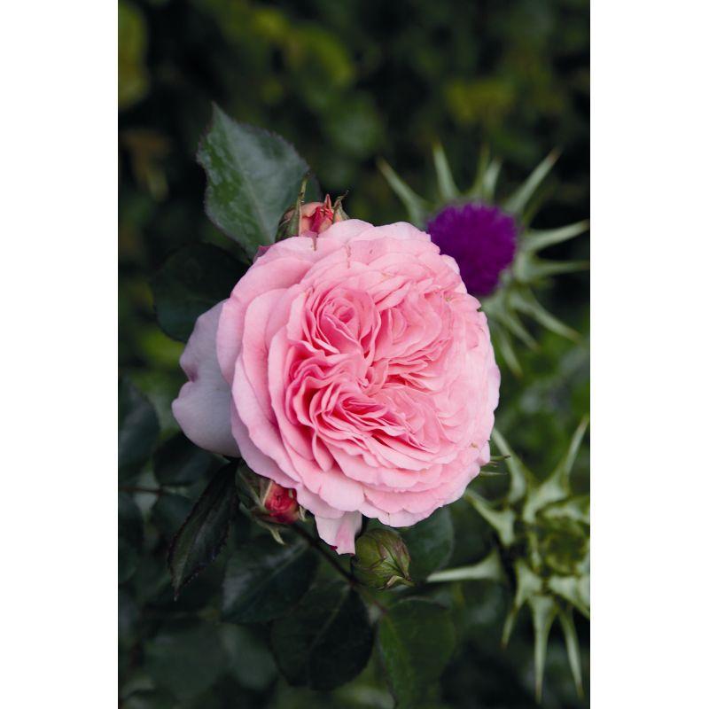 Rosier polyantha et floribunda Mariatheresia (R)