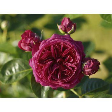 Rosier à grandes fleurs Marietta (R)