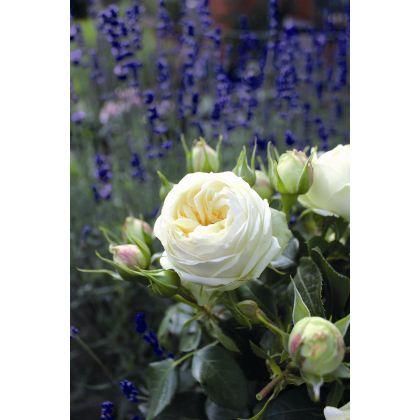 Rosier à grandes fleurs Wedding Piano