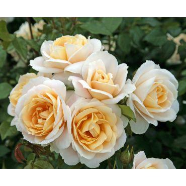 Rosier Lions Rose (R)