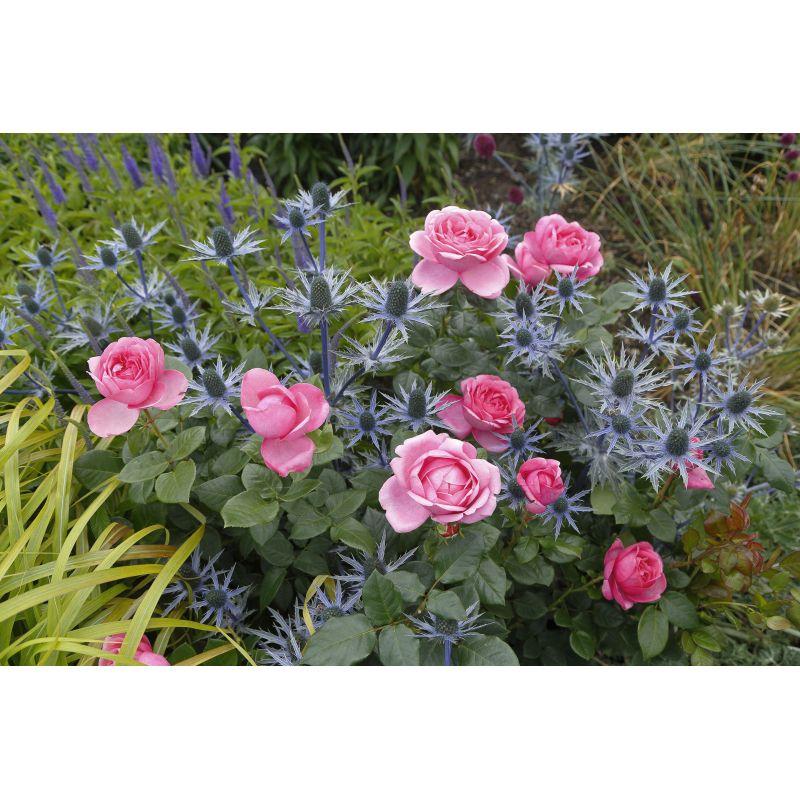 Rosier à grandes fleurs Desiree