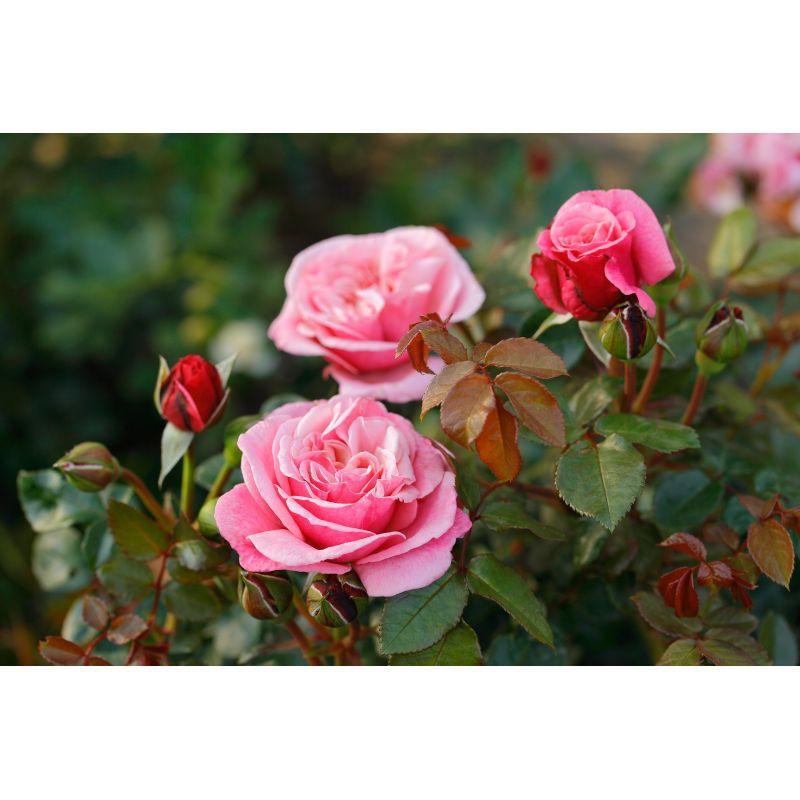 Rosier à grandes fleurs Wildberry