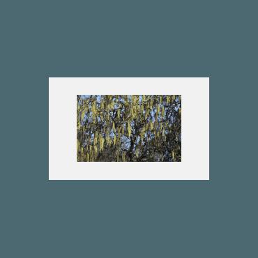 Corylus avellana Contorta (noisetier tortueux, arbre de Pâques)