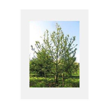 Kletterbaum (Hainbuche Carpinus betulus