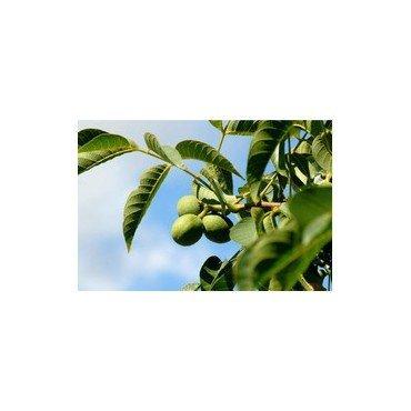 juglans regia veredelt auf stamm walnussbaum nussbaum bio. Black Bedroom Furniture Sets. Home Design Ideas