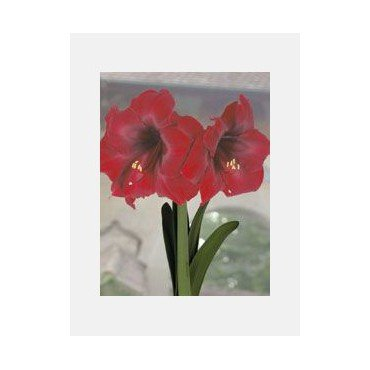 Amaryllis Royal Velvet (25925463)