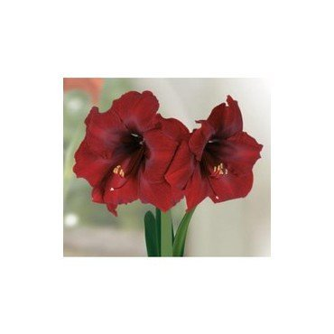Amaryllis Royal Velvet (25915363)