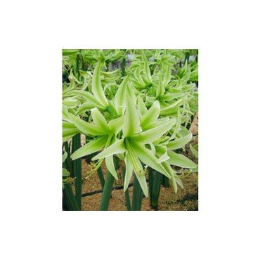 Amaryllis Evergreen (25920773)