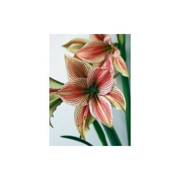 Amaryllis Exotic Star (25920853)