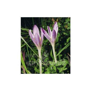 Colchicum autumnale (25762703)