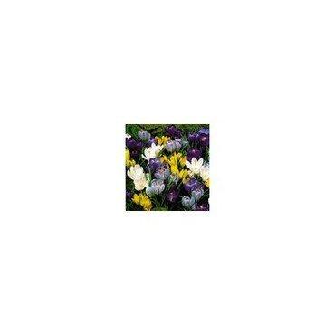 Krokus Pluto Mischung, Aktion, 50 Knollen (25739698)