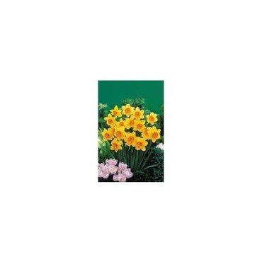 Narcisse Juanita, Action 25 bulbes (25724358)