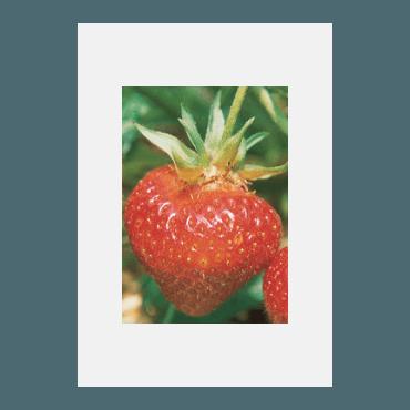 Erdbeere Wädenswil 6 BIO