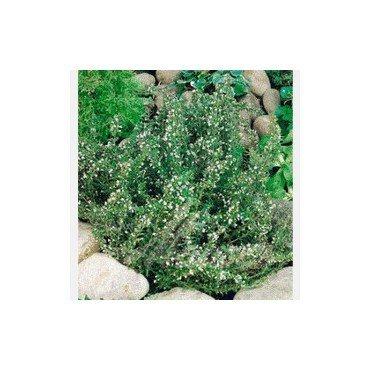 Satureja montana