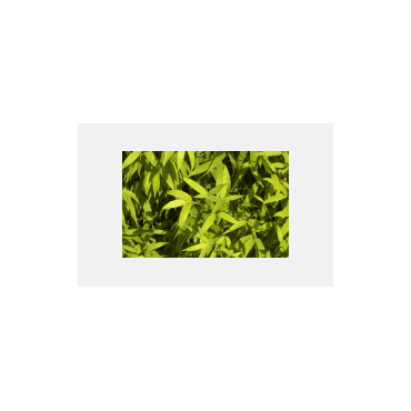 Phyllostachys aurea AKTION 175/200 cm  ( Bambus )