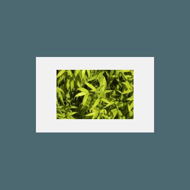Phyllostachys aurea AKTION 200-250 cm  ( Bambus )