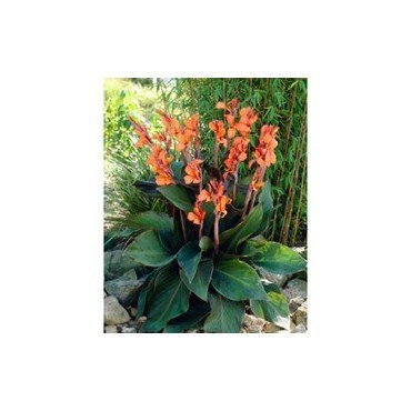 Canna Wyoming au feuillage sombre (25304343)