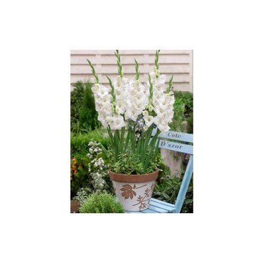 Gladiolus Glamini Blondie (25250313)