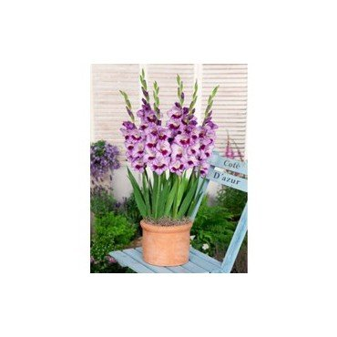 Gladiolus Glamini Tina (25250183)