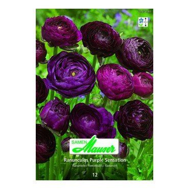 Ranunculus Purple Sensation (25434583)