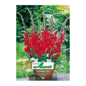 Gladiolus Glamini® Tom (25250763)