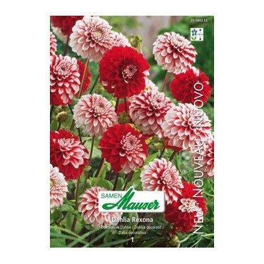 Dahlia décoratif Rexona (25184353)