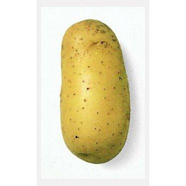 Saatkartoffel ´Charlotte´  (10823036)