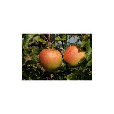 Apfel Pinova BIO
