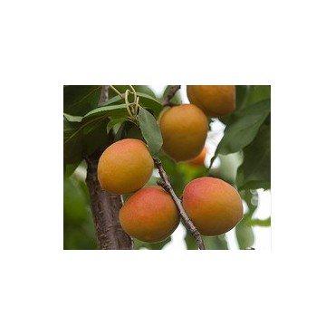 Aprikose Goldrich/ Jumbo Cot BIO