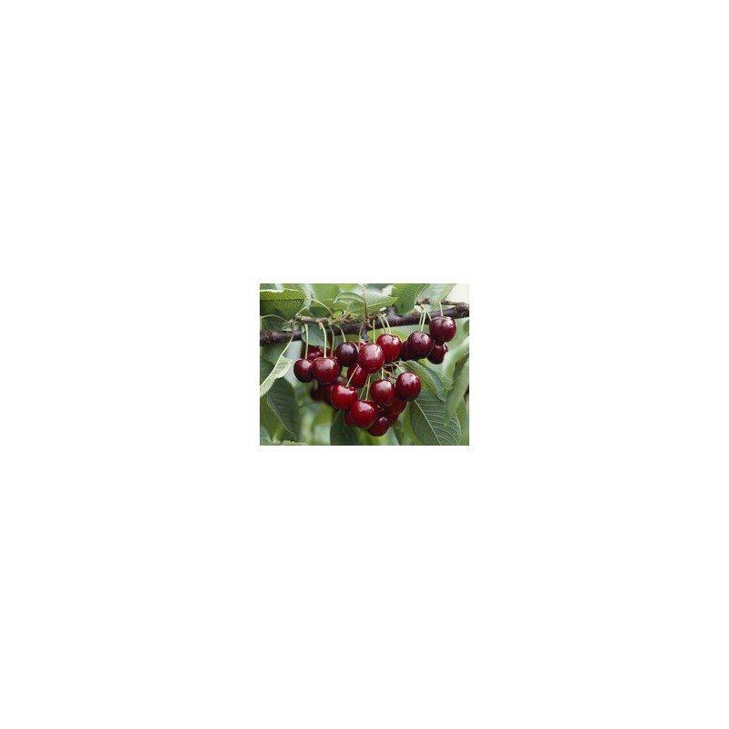 Cerisier Hedelfinger * BIO